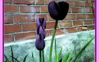 Тюльпан Куин оф найт (Queen of night): описание и фото, особенности выращивания, использование в ландшафтном дизайне