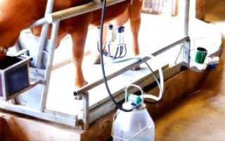 Как правильно доить корову доильным аппаратом: технологии и правила машинного доения, видео