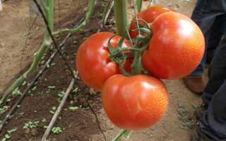 Томат Оля F1: характеристика и описание сорта, фото, урожайность, посадка и уход