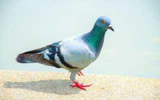 Болезни голубей опасные для человека — их симптомы и лечение