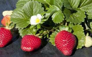 Ремонтантная клубника: ТОП-10 лучших сортов для домашнего выращивания, описание, посадка и уход, фото