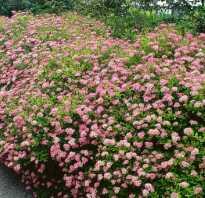 Спирея японская Криспа: описание и фото кустарника, применение в ландшафтном дизайне, посадка и уход