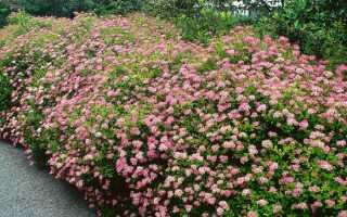 Спирея японская красная: фото и описание кустарника, посадка и уход, фото