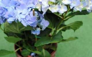 Комнатное растение гарризия: фото и описание, как ухаживать и выращивать в домашних условиях