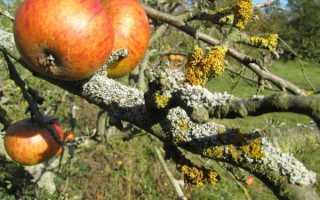 Лишайник на яблоне: признаки и причины появления, как быстро избавиться от проблемы, способы борьбы и профилактики