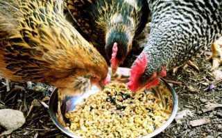Зерно для кур: каким лучше и как правильно кормить, нормы потребления в день