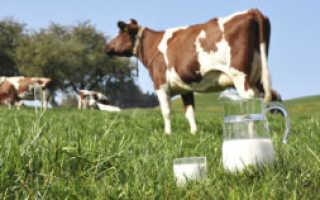Почему корова после отёла не даёт молоко: что делать