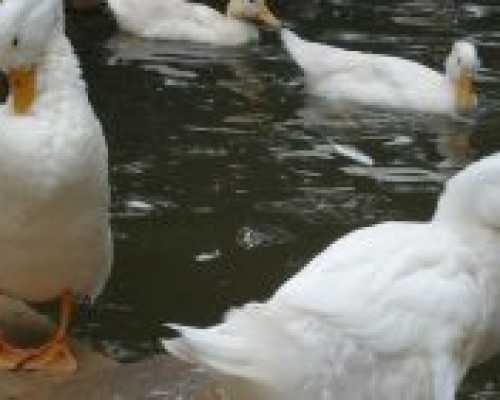Сколько дней утка сидит на яйцах до появления утят