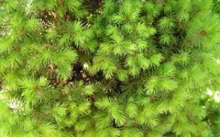 Ель Коника: описание дерева, посадка и уход, применение в ландшафтном дизайне, фото