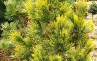 Сосна кедровая европейская (Pinus Cembra): фото и описание, сорта, посадка и уход