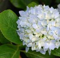 Чтобы гортензия была голубой: что делать, чем поливать и как изменить цвет растения с белого на синий народными средствами