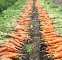 Урожайность моркови: характеристика и урожайность с 1 сотки, как повысить, фото