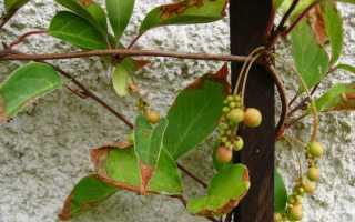 Болезни лимонника китайского: усыхают и желтеют листья, как их лечить, почему сохнет и вянет растение