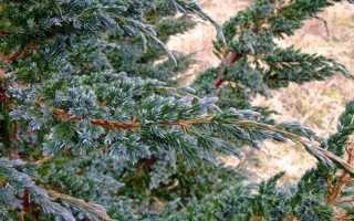 Можжевельник чешуйчатый Дрим Джой (Dream Joy): описание с фото, посадка и уход, использование в ландшафтном дизайне