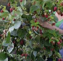Малина сорта Маравилла: описание сорта, преимущества и недостатки, уход, урожайность, фото