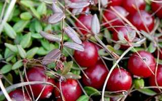 Как правильно размножить клюкву садовую: черенкование, семенами, побегами, посадка и уход