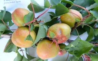 Абрикос Ульянихинский: описание и характеристика сорта, особенности выращивания и ухода, фото