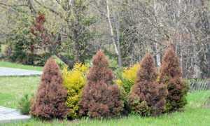 Почему желтеет пихта и что делать, если осыпается хвоя: как вылечить иголки, весной, летом и осенью