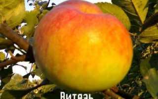 Яблоня сорта Витязь: основные характеристики и описание, условия выращивания и уход, фото