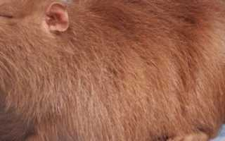 Самые популярные породы нутрий: название, описание и основные характеристики, фото