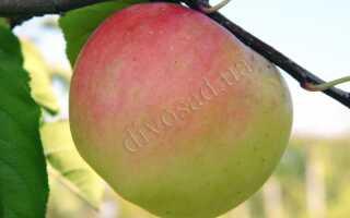 Яблоня сорта Скифское золото: описание и характеристика, польза и калорийность, посадка и уход, фото