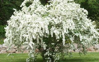 Спирея Белая невеста: фото и описание кустарника, посадка и уход