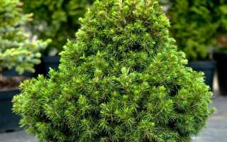Picea abies Tompa (ель обыкновенная Томпа): описание и фото, посадка и уход, применение в ландшафтном дизайне