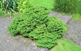 Пихта бальзамическая Нана (Abies balsamea Nana): фото и описание, посадка дерева и уход за ним, отзывы, использование в ландшафтном дизайне