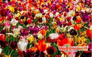 Что такое тюльпан: описание, строение, где он растёт и как переопыляется, к какому семейству относится, однолетнее или многолетнее это растение