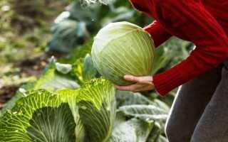 Когда и как убирают капусту с огорода на Урале: сроки, особенности хранения