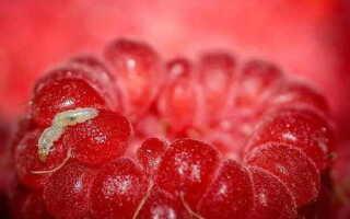 Червяки в малине, что делать и чем обработать малину от червей в ягодах