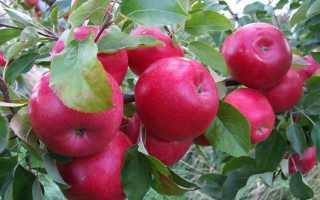 Яблоня Айдаред: описание и характеристика сорта, выращивание и уход, фото, отзывы
