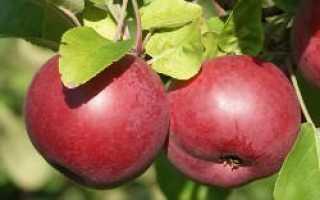 Яблоня Макинтош: описание и характеристика сорта, особенности посадки и ухода, фото