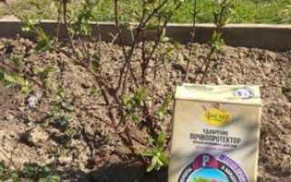 Жимолость съедобная: обрезка, уход весной, чем удобрять до и после цветения, подкормка минеральными удобрениями для хорошего урожая