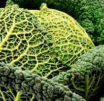 Савойская капуста на зиму: самые популярные рецепты заготовок, особенности хранения