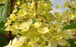 Гортензия метельчатая Канделайт (Hydrangea paniculata Candlelight): описание, внешний вид, фото