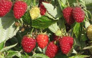 Малина Таганка: описание сорта, преимущества и недостатки, урожайность, фото, отзывы