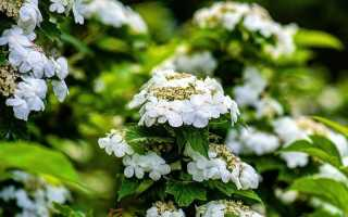 Калина боднантенская Шарль Ламон: описание сорта, фото, зимует или нет