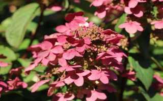 Гортензия метельчатая Мэджикал Файер (Hydrangea paniculata Magical Fire): фото и описание сорта, посадка и уход за цветком