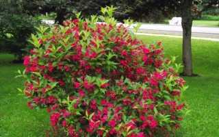 Вейгела цветущая Ред Принц (florida Red Prince): описание кустарника, посадка и уход в открытом грунте, фото, использование в ландшафтном дизайне