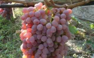 Виноград Тайфи (розовый и белый): описание сорта — фото и калорийность