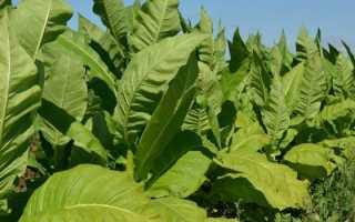 Табак Дюбек: выращивание и уход в домашних условиях, сбор и дальнейшая обработка, фото