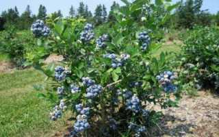 Голубика Нортланд: описание сорта, фото и отзывы, посадка и уход, опылители