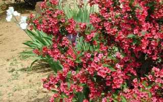 Вейгела гибридная Бристоль Руби (Bristol Ruby): описание, посадка и уход в открытом грунте, использование в ландшафтном дизайне, фото