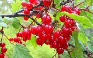 Красная смородина Татьяна: описание сорта с фото,посадка и уход, урожайность