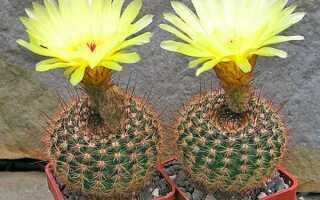 Нотокактус — описание растения с фото, уход в домашних условиях