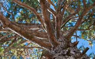 Ель и сосна: отличия, как выглядят, какая разница между корневой системой, что выше