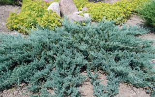 Можжевельник Блю Карпет (Blue Carpet): описание с фото, использование в ландшафтном дизайне, посадка и уход