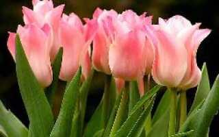 Выращивание тюльпанов в теплице к 8 марта для начинающих: сроки посадки, особенности ухода