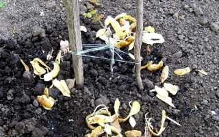 Подкормка смородины картофельными очистками: свойства, способы приготовления, когда и как правильно вносить удобрение